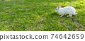Cute white rabbit outdoors at park on grass 74642659