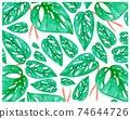 Illustration of Window Leaf or Monstera Obliqua Plants Background 74644726
