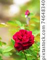 紅玫瑰花 74648340