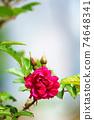 紅玫瑰花 74648341