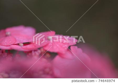 비에 젖은 핑크의 이마 수국의 클로즈업 74648974