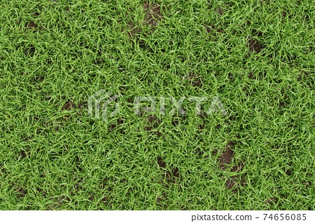 Closeup green grass texture background. Nature and environment backdrop concept. 3D illustration rendering 74656085