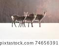 Ezo deer sunset Hokkaido 74656391