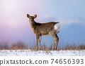 Ezo deer sunset Hokkaido 74656393