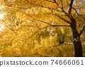 Beautiful yellow ginkgo tree in nature park,autumn landscape. 74666061