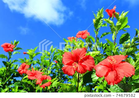 沖繩的藍天和紅芙蓉 74679582