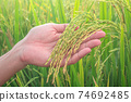 Paddy rice field ready for harvest in the morning. Human hand take care of rice seed. 74692485