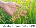 Paddy rice field ready for harvest in the morning. Human hand take care of rice seed. 74692490
