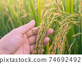 Paddy rice field ready for harvest in the morning. Human hand take care of rice seed. 74692492