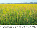 Paddy rice field ready for harvest in the morning. 74692792
