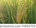 Paddy rice field ready for harvest in the morning. 74692793