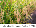 Paddy rice field ready for harvest in the morning. 74692794