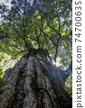 기원 삼나무에서 새어 나오는 빛 74700635