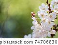 Cherry Blossoms 74706830