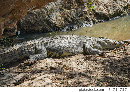 An African crocodile lies on the soil near the pond. It's basking in the sun. Large numbers of animals migrate to the Masai Mara National Wildlife Refuge in Kenya, Africa. 2016. 74714737