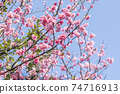 Beautifully blooming cold scarlet cherry blossoms in full bloom 74716913
