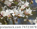 Kobushi flower 74723878