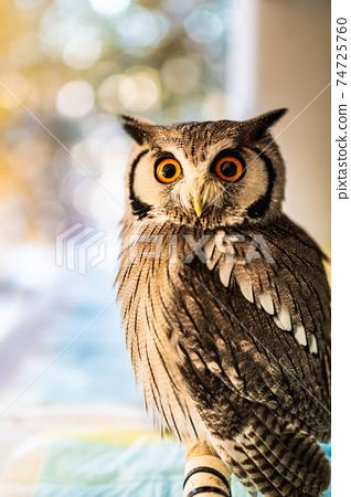 森林哲學家貓頭鷹非洲白臉貓頭鷹 74725760