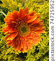 Close up fresh orange and yellow gerbera daisy Flower with small yellow flower background for spring season 74725952
