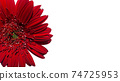 Close up Red Gerbera Flower isolated on white background empty copy space for text, spring season 74725953
