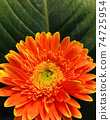 Close up fresh orange and yellow gerbera daisy Flower with big green leaf background for spring season 74725954