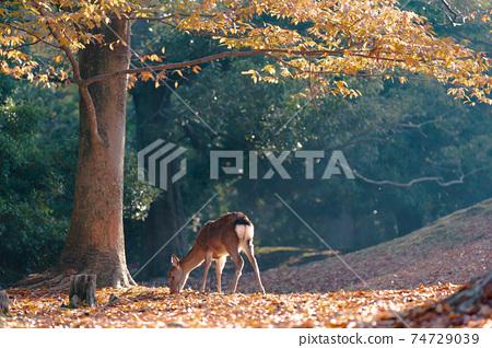 가을의 나라 공원의 사슴을 촬영 한 것 74729039