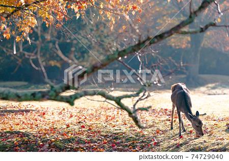 가을의 나라 공원의 사슴을 촬영 한 것 74729040