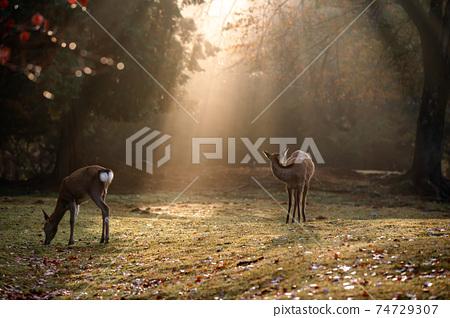 가을의 나라 공원의 사슴을 촬영 한 것 74729307
