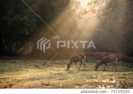 가을의 나라 공원의 사슴을 촬영 한 것 74729320