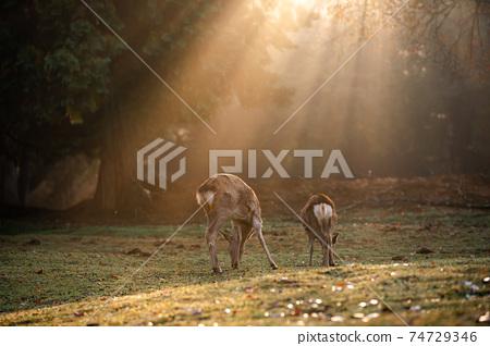 가을의 나라 공원의 사슴을 촬영 한 것 74729346
