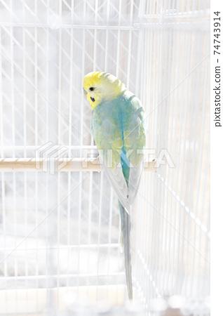 虎皮鸚鵡伴侶鳥放鬆 74743914