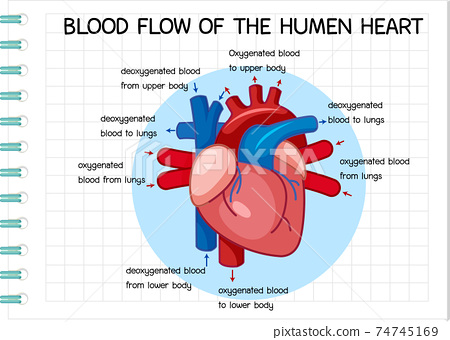 Diagram of Blood Flow of the Human Heart 74745169