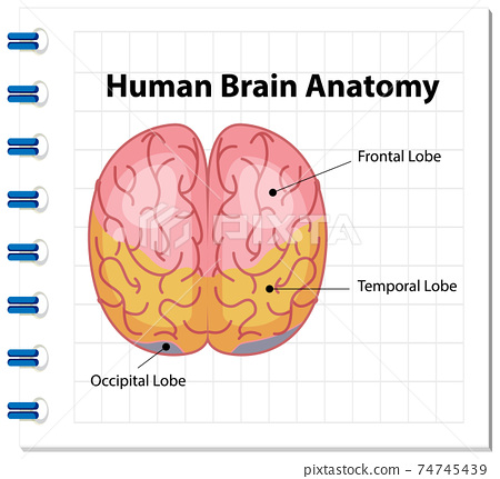 Information poster of human brain diagram 74745439