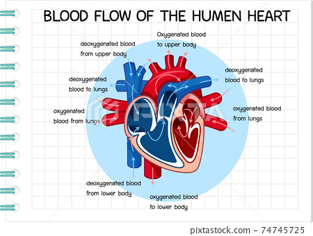 Diagram of Blood Flow of the Human Heart 74745725