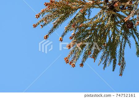 Sugi男性和女性花粉病季節藍色天空背景a-1 74752161