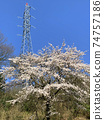 Tower and cherry tree 74757186