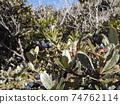 沿海植物沙林白的果實顏色為黑紫色 74762114