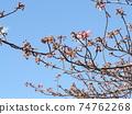 Inage Kaigan站前的Kawazu櫻花粉紅色花朵 74762268