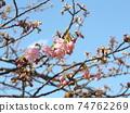 Inage Kaigan站前的Kawazu櫻花粉紅色花朵 74762269