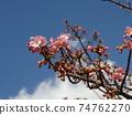 Inage Kaigan站前的Kawazu櫻花粉紅色花朵 74762270