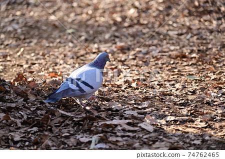 鴿子在枯葉中 74762465