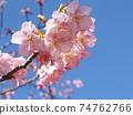 Inage Kaigan站前的Kawazu櫻花粉紅色花朵盛開 74762766