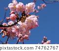 Inage Kaigan站前的Kawazu櫻花粉紅色花朵盛開 74762767