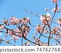 Inage Kaigan站前的Kawazu櫻花粉紅色花朵盛開 74762768