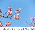 Inage Kaigan站前的Kawazu櫻花粉紅色花朵盛開 74762769