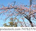 Inage Kaigan站前的Kawazu櫻花粉紅色花朵盛開 74762770