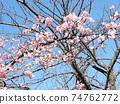 Inage Kaigan站前的Kawazu櫻花粉紅色花朵盛開 74762772