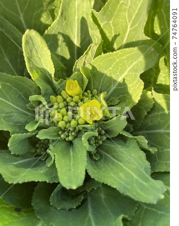 Rape blossoms that herald the arrival of spring 74764091