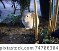 石川縣月季市佐藤市的兔子 74786384