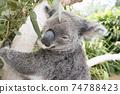 澳大利亞考拉被桉樹抓住 74788423